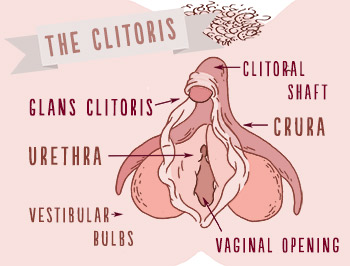 Position of the clitoris