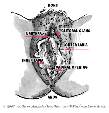 diagram of the vulva