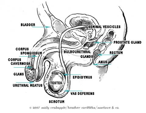 male internal anatomy